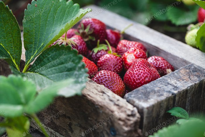 A crate of freshly picked strawberries in a field