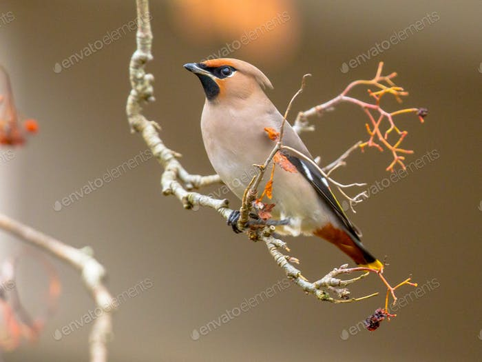 Bohemian waxwing winter passerine bird eating berries