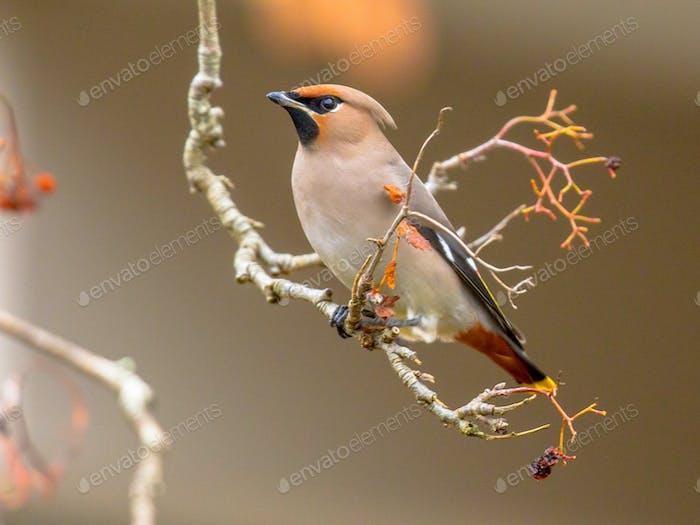 Bohemian waxwing winter passerine bird eating berries
