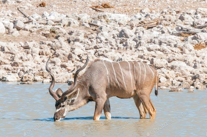 Greater kudu bull drinking water in a waterhole