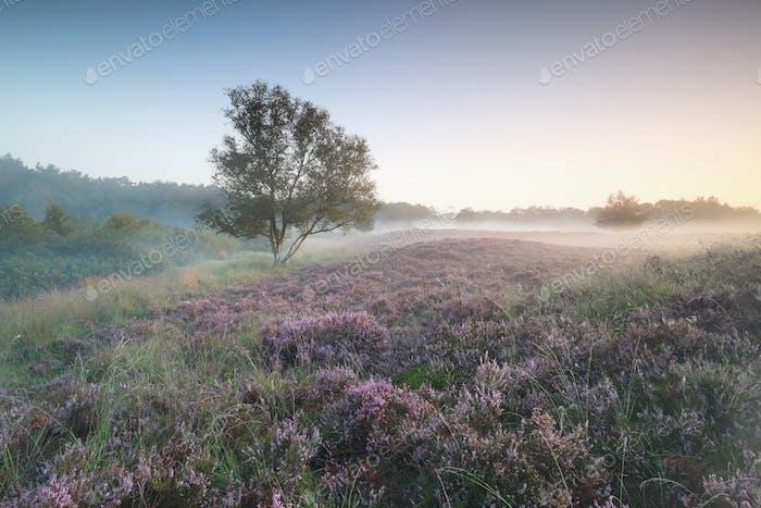 flowering heather on misty hills at dawn
