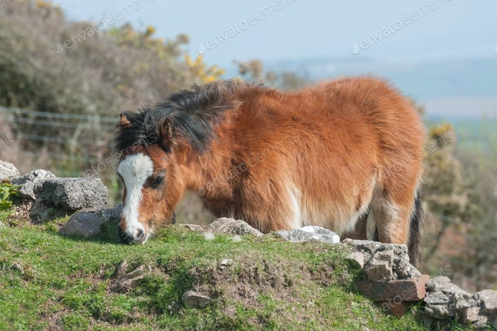 walisisches Pony