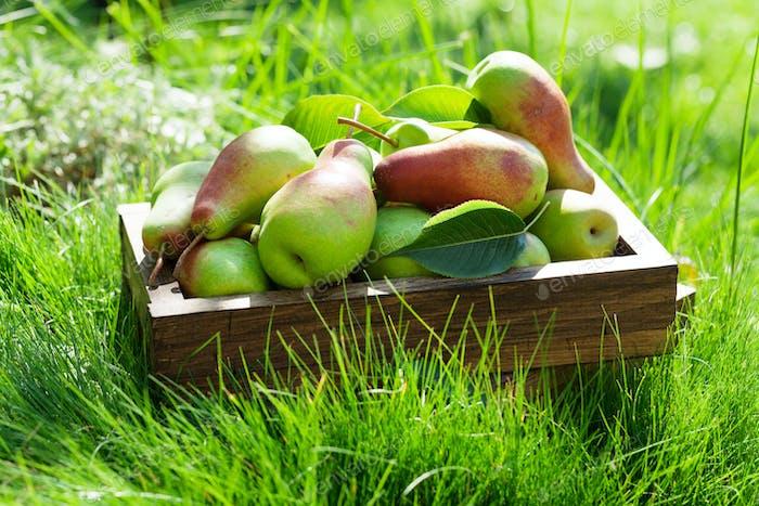 Garden pears in wooden box