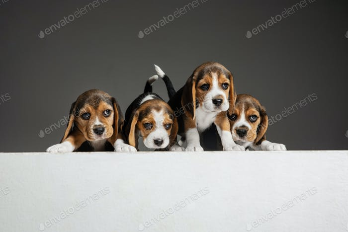 Studio shot of beagle puppies on grey studio background