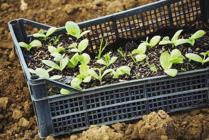 Eine Kiste mit Sämlingen, die bereit sind, gepflanzt zu werden.