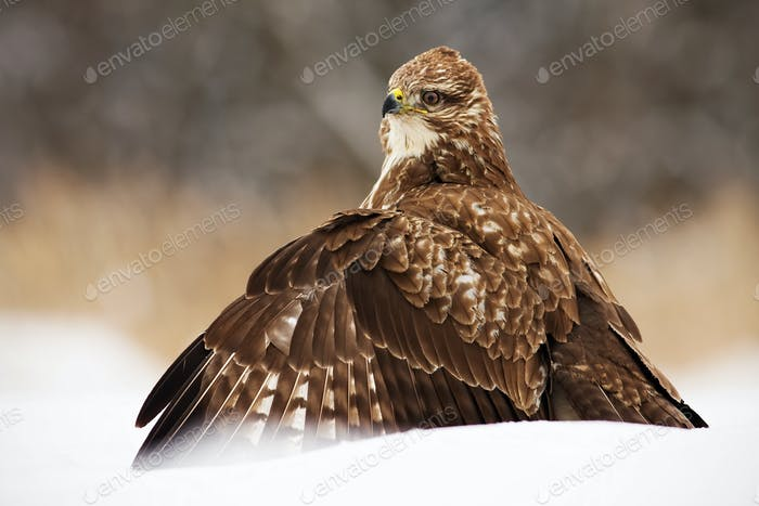 Fierce common buzzard protecting the prey with wings spread wide in polar nature