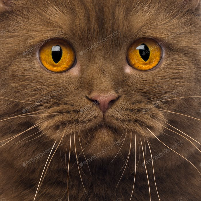 Close-up of a British Shorthair, 20 months old, looking at the camera