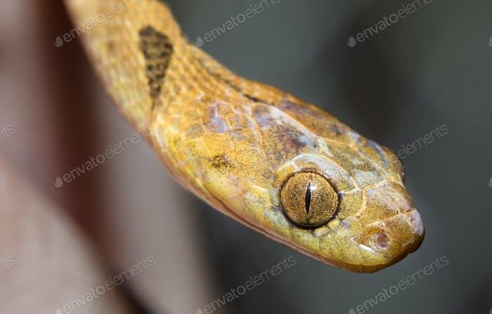 Northern Cat-eyed Snake in Belize