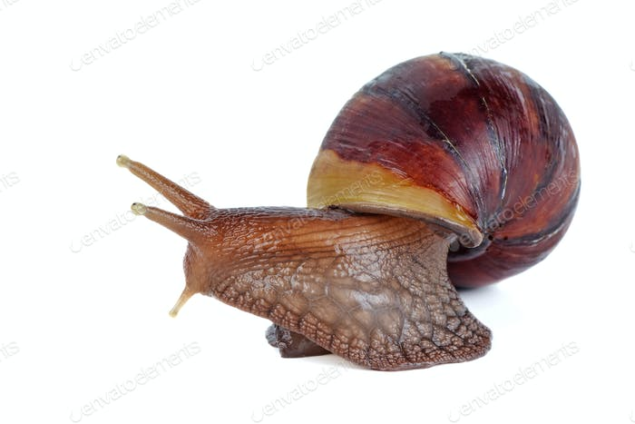 Brown garden snail