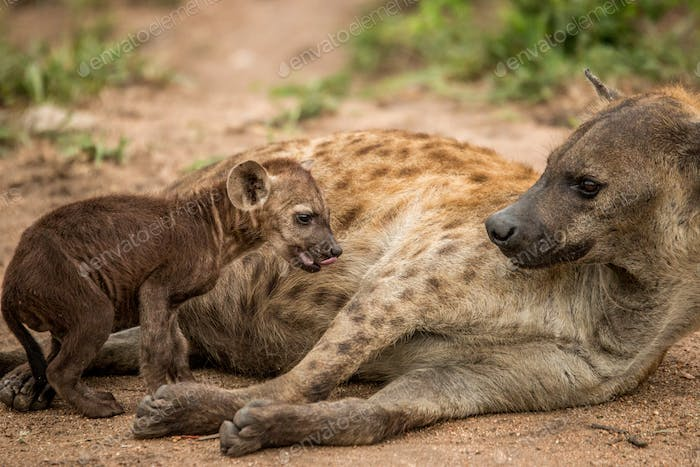 Mother Spotted hyena with a pup.
