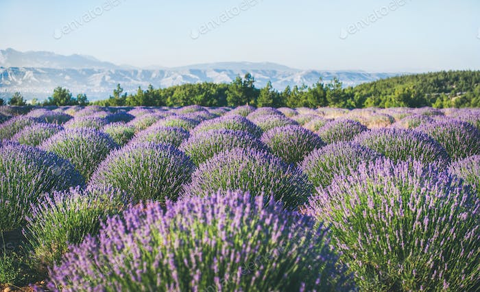Lavender flowers blooming field near Isparta region, Turkey