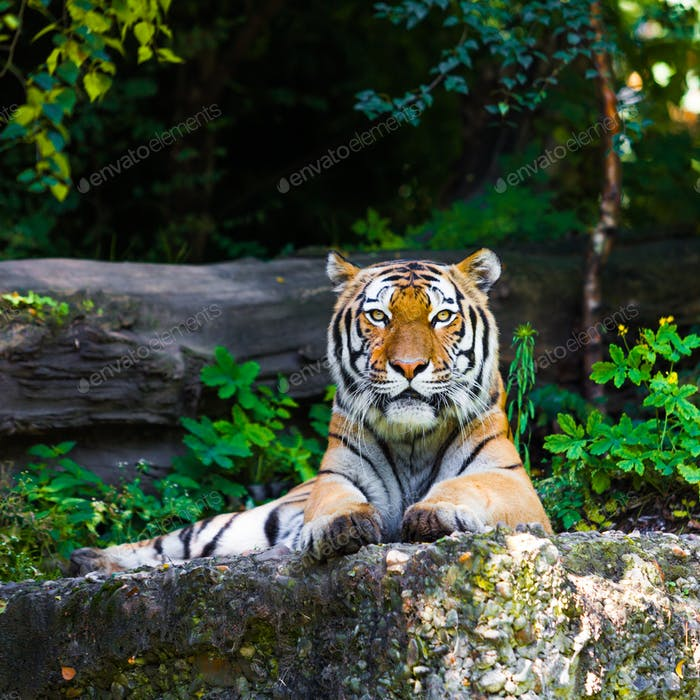 Beautiful tiger.