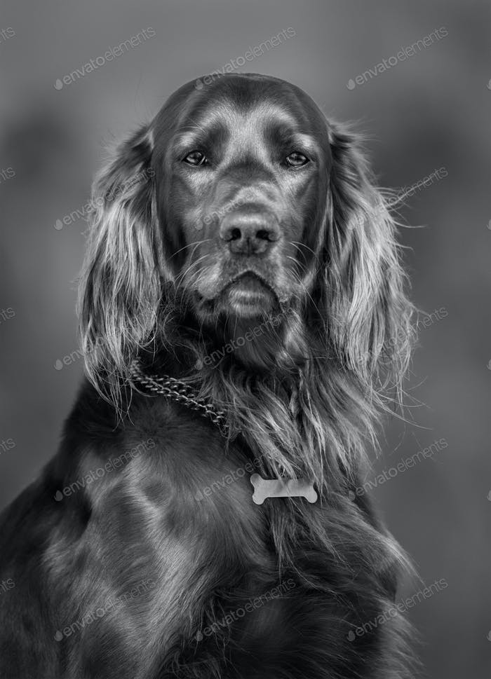 Irish Red Setter. Black-and-white portrait of dog.