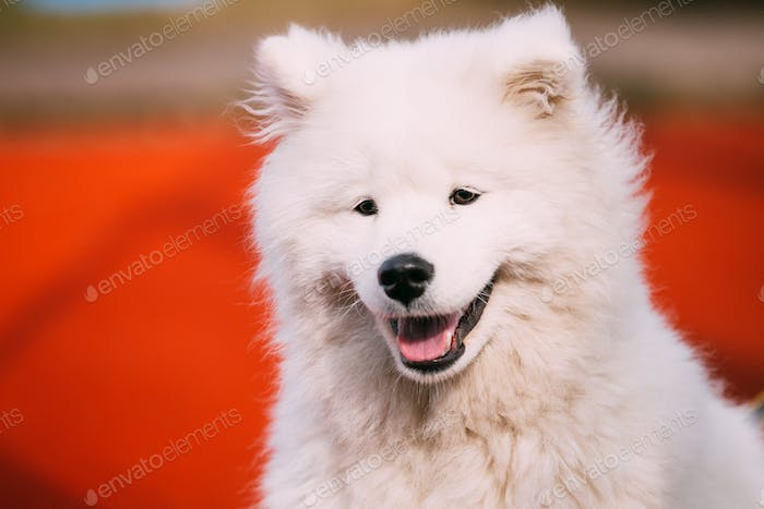 Close Up Of Happy Smiling Young White Samoyed Dog