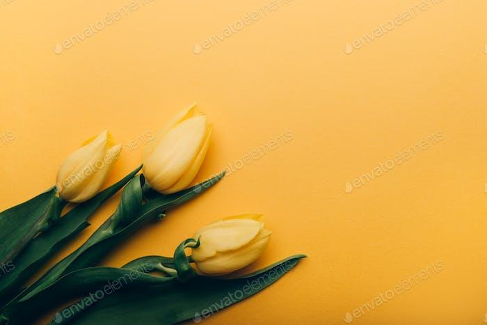 Yellow Classic Tulips on yellow background