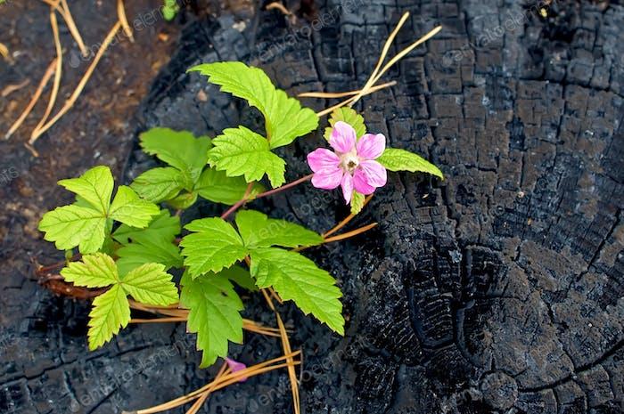 Blume auf dem verbrannten Stumpf