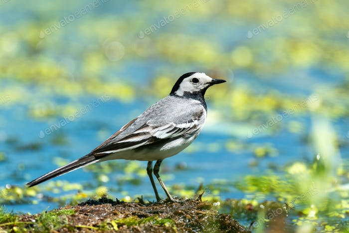 Small white bird White wagtail