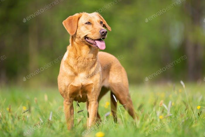 Bright Labrador Retriever from the Working Line