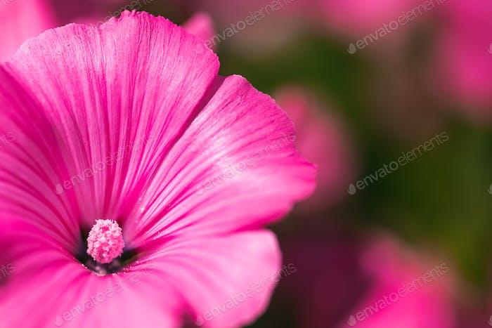 Pink malva silvestris flower in garden on natural background