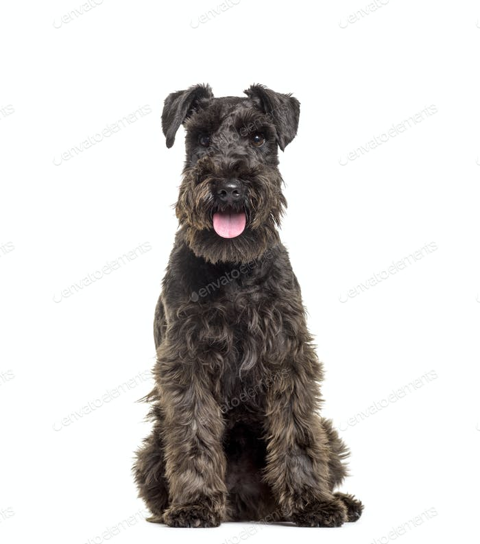 Schnauzer dog sitting and panting, cut out