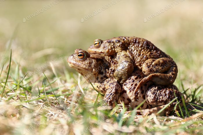 Pair of the Brown Frog in a Grass - Reproduction