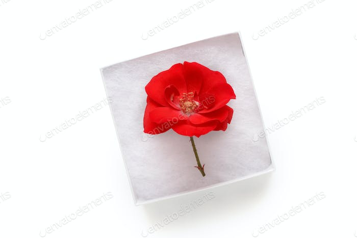 Rose in a white gift box isolated on white