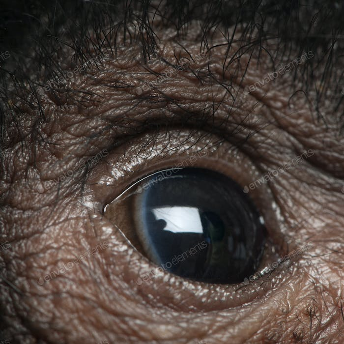 Close-up of Red-faced Spider Monkey eye, Ateles paniscus, 3 months old