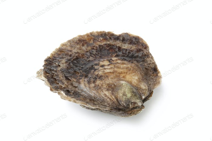 Single closed fresh European flat oyster
