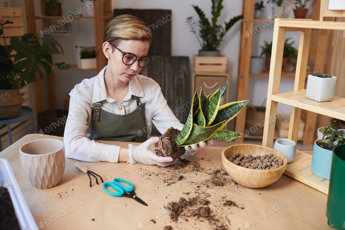 Young Woman Potting Snake Plant Indoors