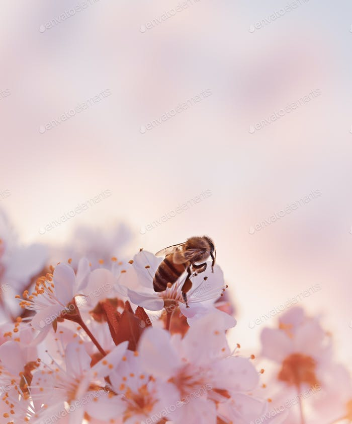Little bee on the blooming cherry