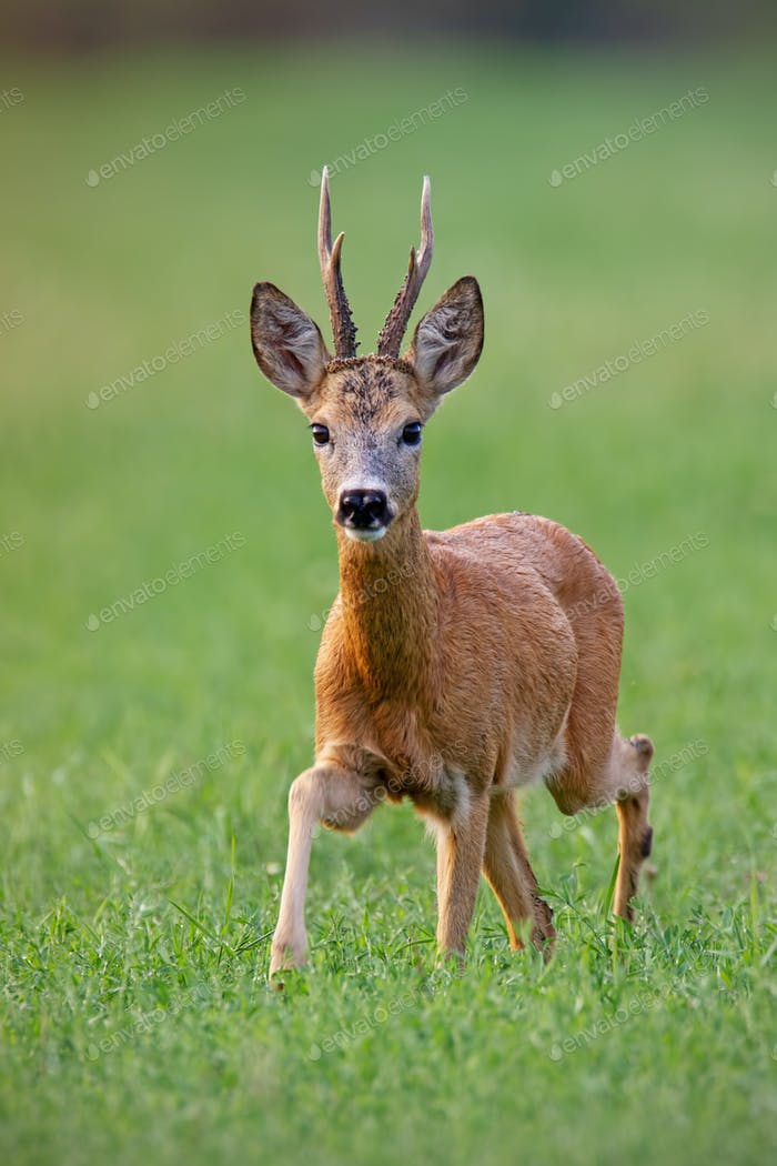 Male roe deer buck walking forward in summer