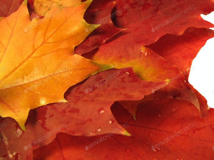 beautiful colored fall leaves with water drops
