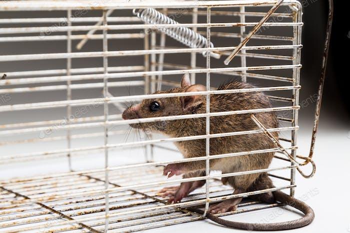 Nahaufnahme der ängstlichen Ratte in Metallkäfig gefangen
