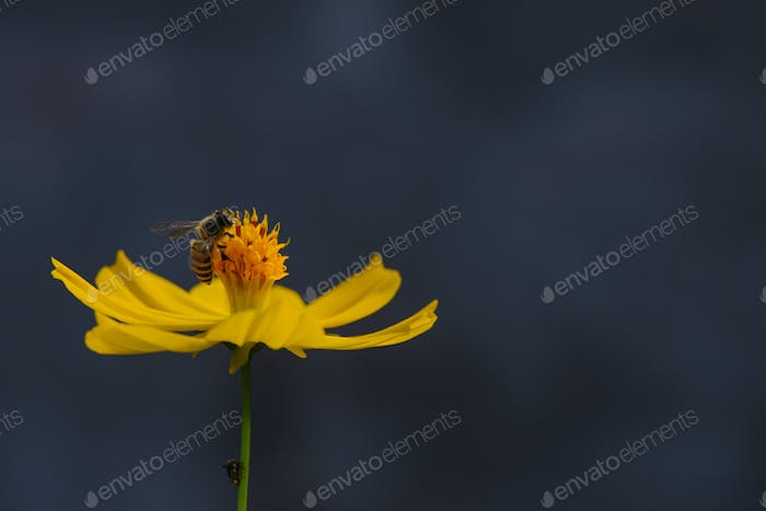 Bee perching on the pollen of yellow flower