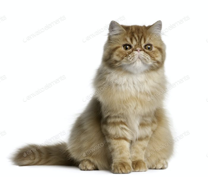 Persian cat, 5 months old, sitting in front of white background