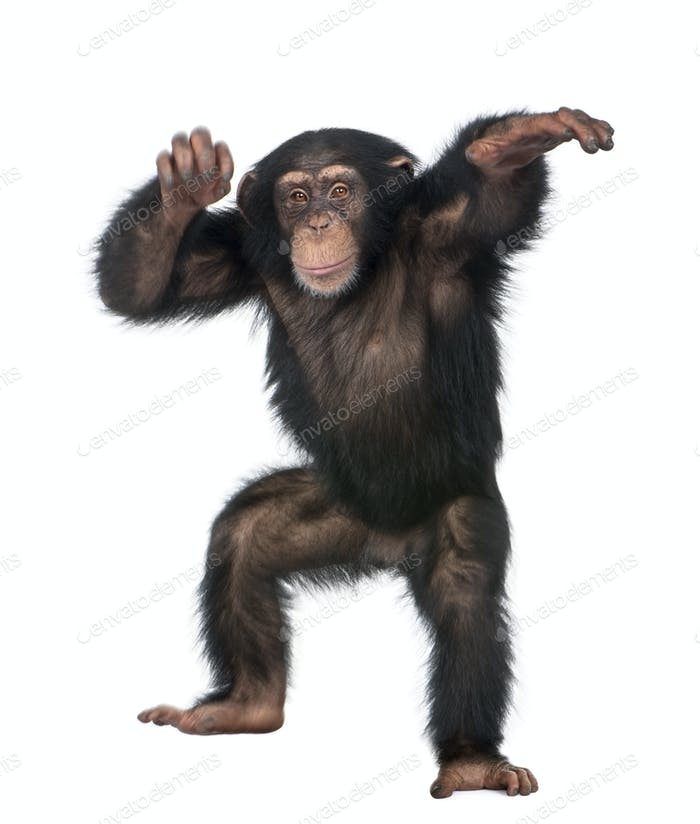 Young Chimpanzee dancing