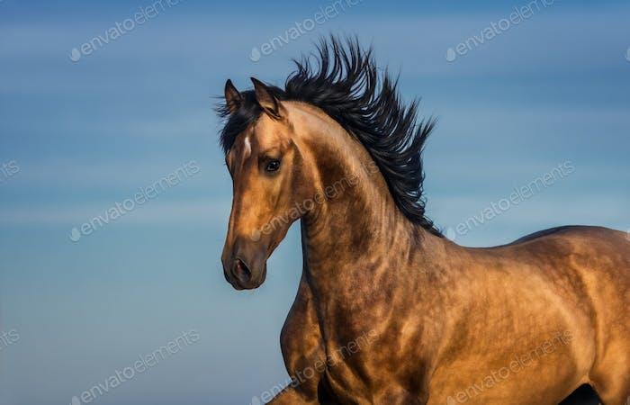 Portrait of light bay Andalusian horse.