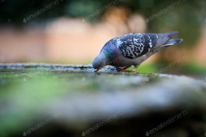 close-up of a pigeon drinking water from a basin/fountain in the