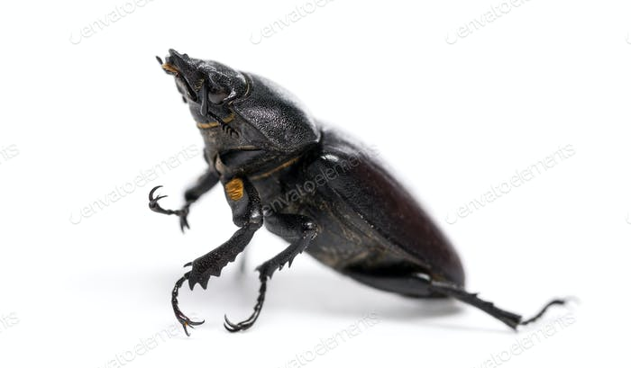 Dead Stag Beetle lying on its back, Lucanus cervus, isolated on white
