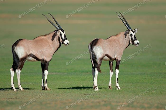 Young gemsbok antelopes