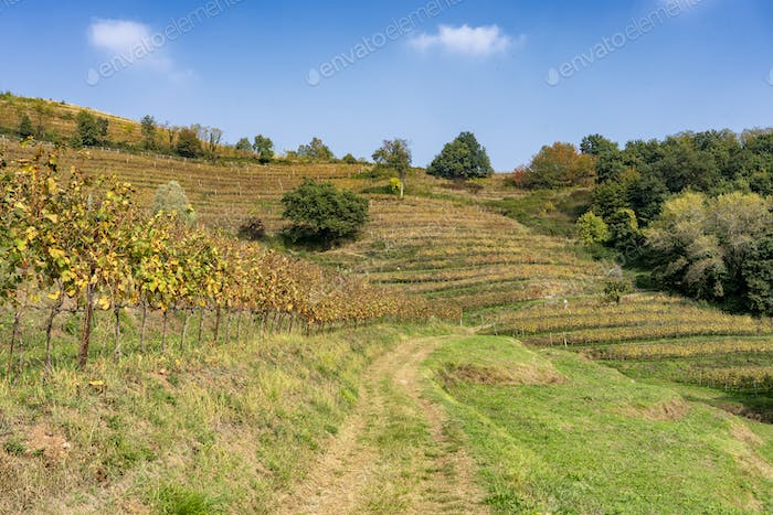 Vineyards in the Park of Curone at fall