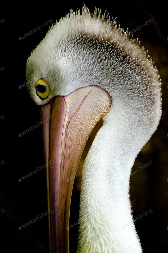 Australian Pelican in Profile