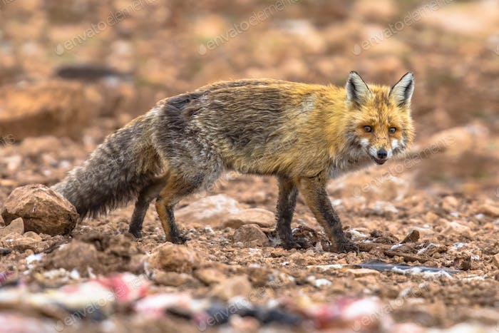 Red fox rocky environment
