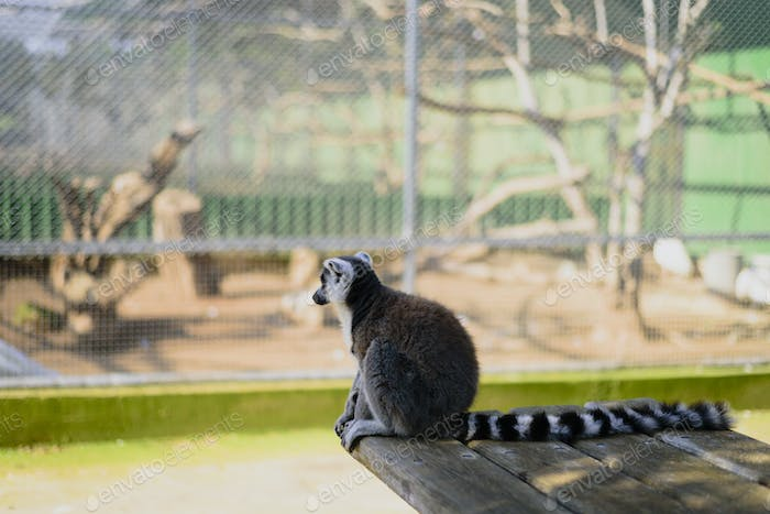 Sad lemur in zoo sitting and watching to aviary