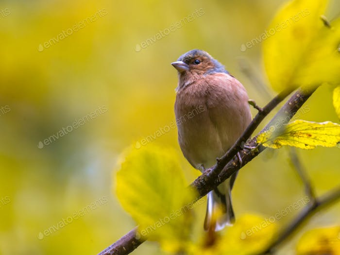 Chaffinch on autumnal  branch