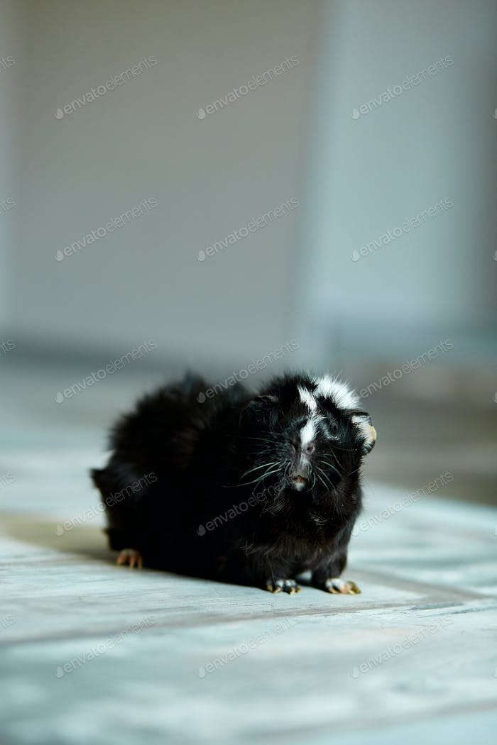 Portrait of black guinea pig or cavy indoors.