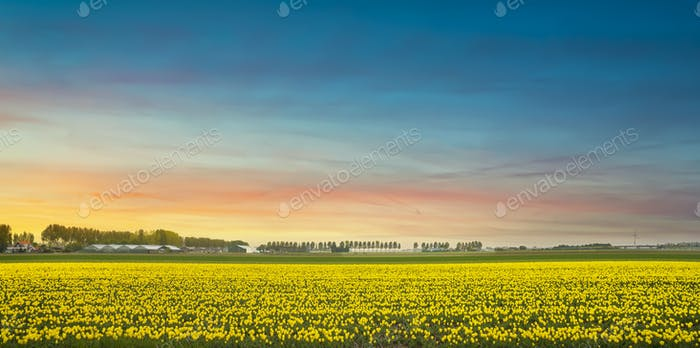 Yellow tulips in bloom, flowers field in spring at sunset. Holland or Netherlands.