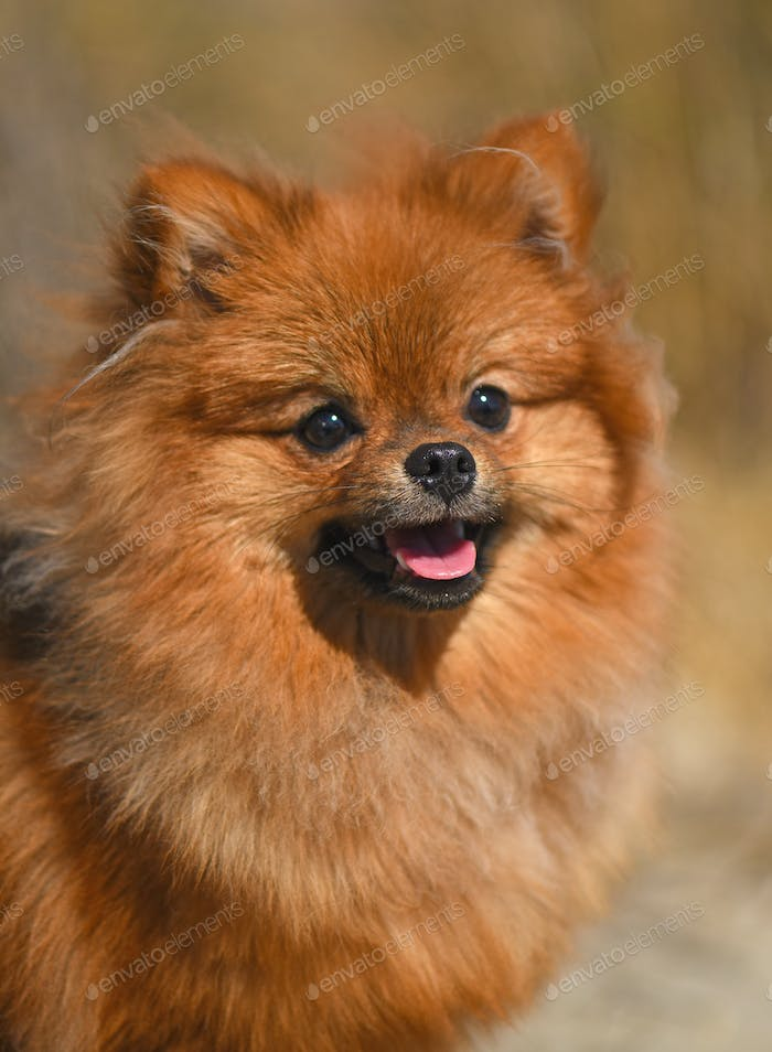 pomeranian spitz in nature