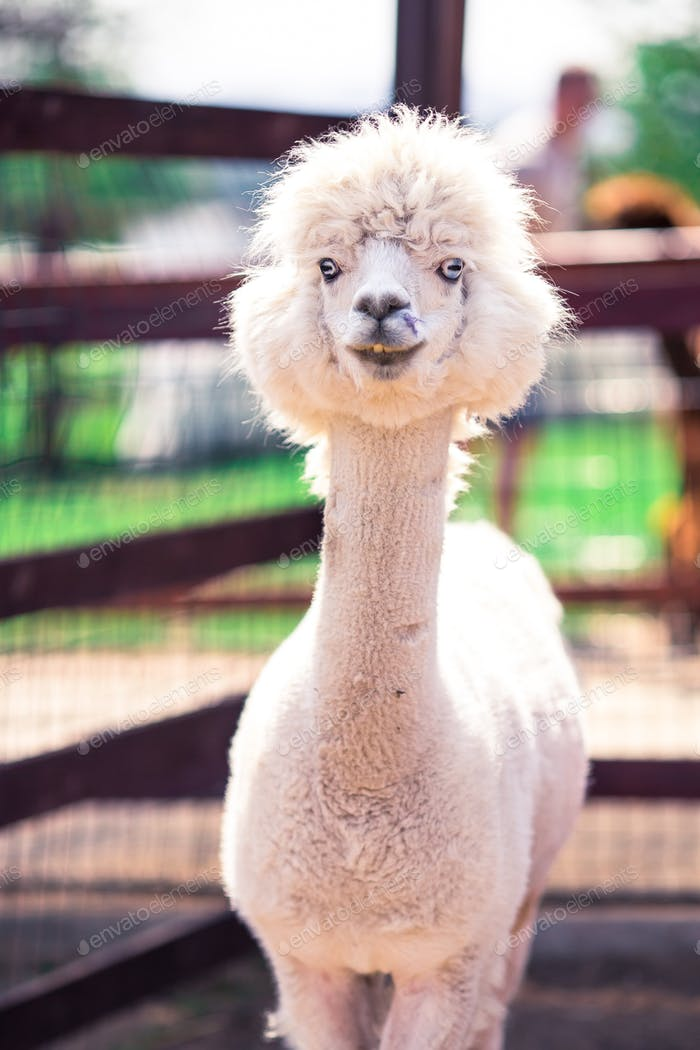 Portrait of a sweet white llama - alpaca