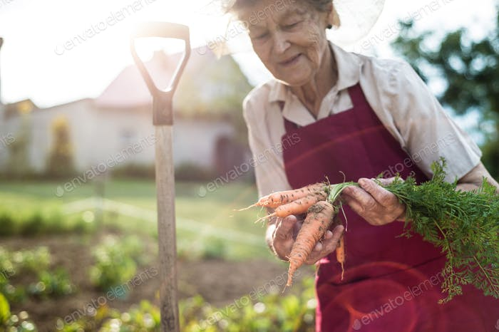 Senior woman in her garden holding carrots. Sunny nature.